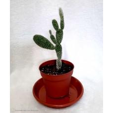 Kaktuss - Opuncija